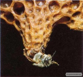 Матки породи бакфаст: штучного осіменіння (ШО), природного обльоту (ПО
