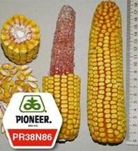 Кукурудза піонер ПР38Н86 / PR38N86 ФАО 320