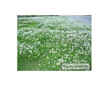 Продам семена  Клевер (конюшина-укр.) белый ползучий. Медонос
