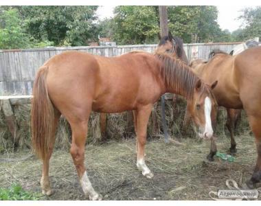 продам верховых лошадей