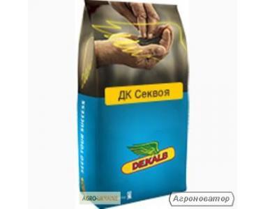 Насіння озимого ріпаку Монсанто гібрид ДК Секвоя, Київ р.