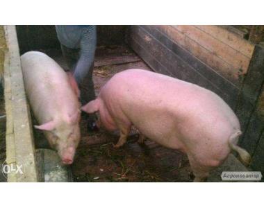 Продам домашніх свиней живою вагою 170-240 кг. Годування без добавок.