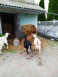 Продаем двух молодых коз после окота!!!