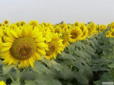 Семена подсолнечника Фушия КЛ
