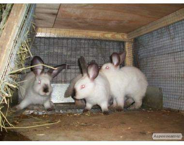 Кролики мясных пород Калифорнийский