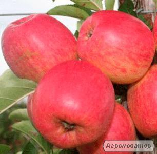 Саженцы яблони сорта Зари, от производителя