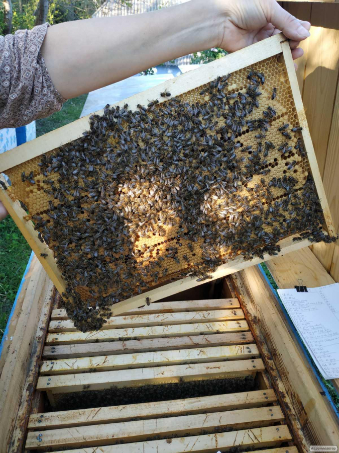 Продам бджолосім'ї та бджолопакети