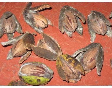Саженцы и семена   Американского ореха Кария Пекан.