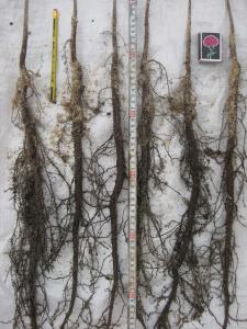 Саджанці та насіння Американського горіха Карія Пекан. ( 8 СОРТІВ )