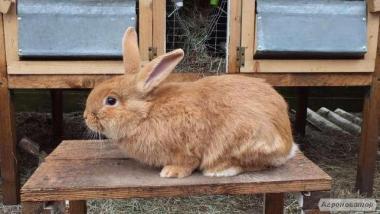 Продам кроликов породы Бургундия