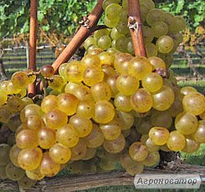 Шардоне біле сухе домашнє вино
