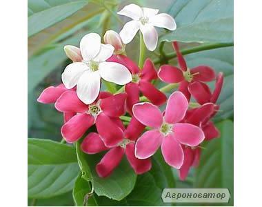 Квисквалис индийский, Rangoon creeper sp