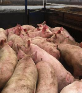 Свиньи живым весом (некондиция)