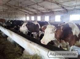Продам коров нетелі телички телята