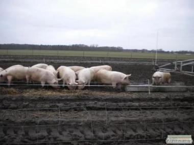 Продаж свиней м'ясного напряму