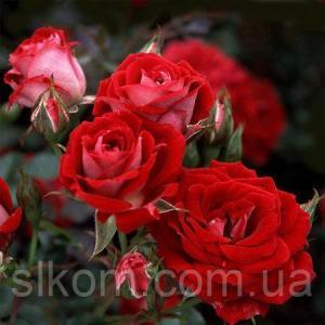 Роза миниатюрная Maidy (Мейді)