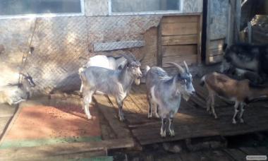 Продам коз полтавской породы