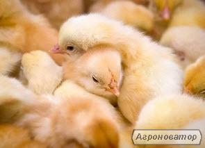 Цыплят несушек Ломан Браун, Браун Ник, курочки, петушки.