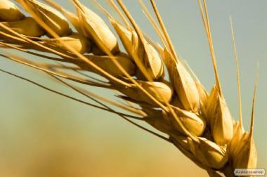 Семена озимой пшеницы урожая 2016