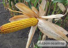 Насіння кукурудзи угорської Вудсток – Гібрид ГС 210 - ФАО 210