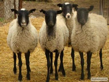 Романовские овцы бараны