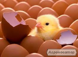 Продам инкубационное яйцо Испанка, Редбро, Мастер Грей, Бройлеров