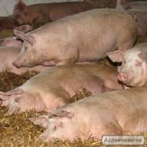 Свині на заріз