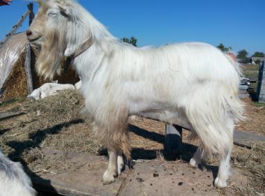 Продам козла породи (Ламанча