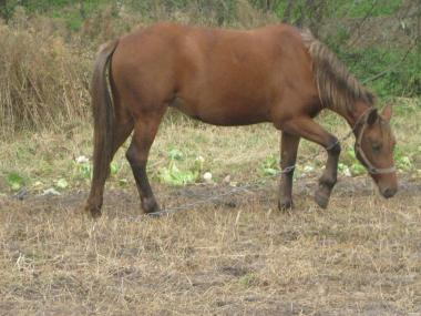 кобила