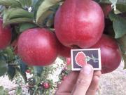 Продам яблука відмінної якості