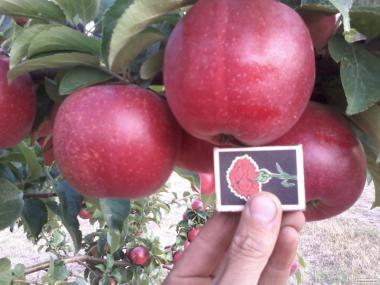 Продам яблоки отличного качества