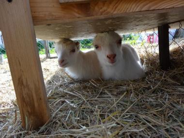 Козлик і кізочка - Ламанчі