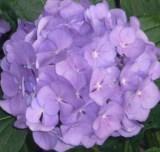 Гортензия крупнолистная фиолетовая