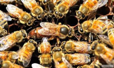 Матки бджолині породи бджіл БАКФАСТ