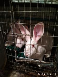 Продаю кроликов породы Термонська белая