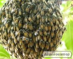 Продаю сім'ї та виводки бджолів