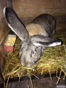 Продам кроликів породи Бельгійський обр