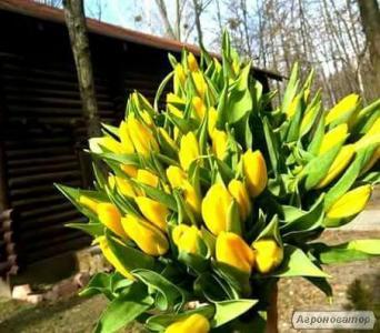 Тюльпани до 8 березня з Голландії/тюльпани до 8 березня
