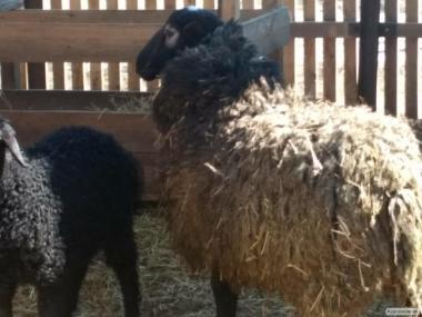 Продам романовские овцы