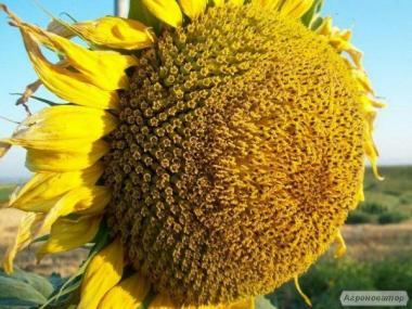 Насіння соняшнику Римисол, Прийми Нертус Сербія під евролайтинг