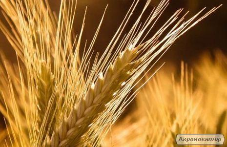 Семена озимого ячменя Луран 1 репродукция