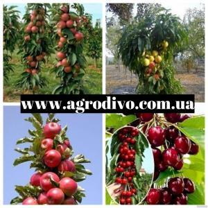 Продажа плодовых деревьев
