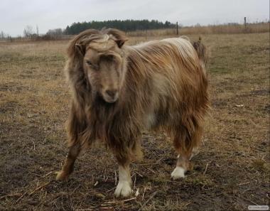 Продам кіз породи (ЛАМАНЧА