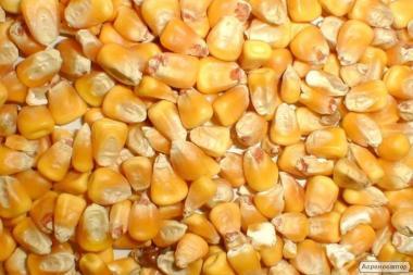 Продам зерно кукурудзи (сухе)