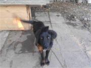 Продаю собаку метис алабая и восточно-европейской овчарки