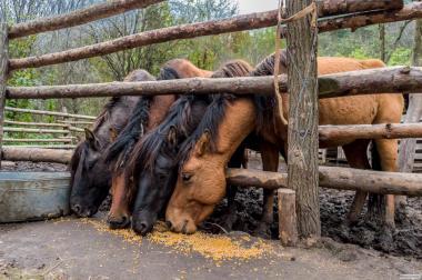 Продаю жеребцов (гуцульская порода)