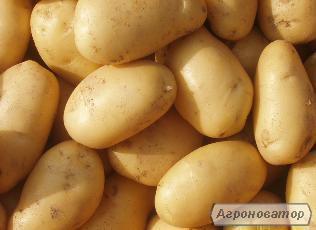 продам картоплю хорошої якості оптом і в роздріб