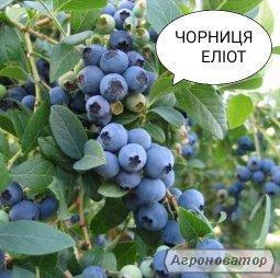 Чорниця Еліот