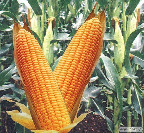 кукуруза ВН 6763 (ВНИС)
