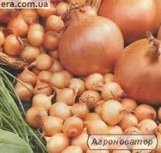 "Продам Цибуля-сівок ""Штутгарт Різен"